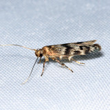 1171 – Asaphocrita aphidiella