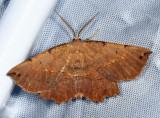 6725 – Muzaria Euchlaena Moth – Euchlaena muzaria
