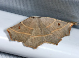 6819 – Pale Metanema Moth – Metanema inatomaria