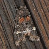 10301 – Otter Spiramater Moth – Spiramater lutra