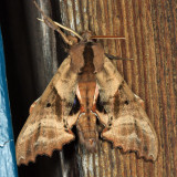 7824 - Blinded Sphinx - Paonias excaecata