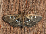 Diathrausta sp. (reconditalis or harlequinalis)