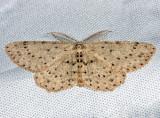 6449 – Dotted Gray Moth – Glena cribrataria