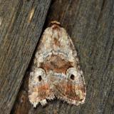 9681.1 – Pale-winged Midget Moth – Elaphria alapallida