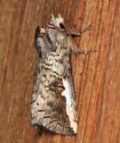 Symmerista albifrons/canicosta