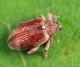 Alder Flea Weevil - Orchestes testaceus