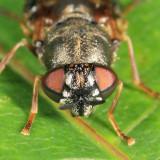 Odontomyia pubescens