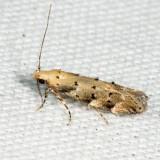 1803 – Conifer Coleotechnites Moth – Coleotechnites coniferella