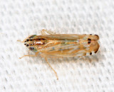 Leafhoppers genus Cosmotettix
