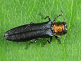 Red-necked Cane Borer - Agrilus ruficollis