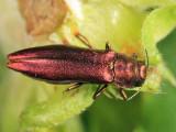 Agrilus pseudocoryli