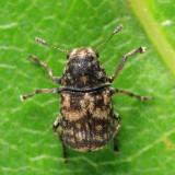 Eusphyrus walshi