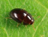 Acylomus sp.