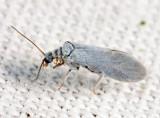 Coniopterygidae