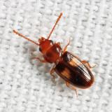 Laemophloeus fasciatus