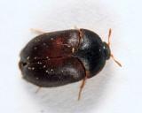 Black Carpet Beetle - Attagenus unicolor