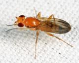 Sobarocephala latifacies