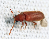 Hemicoelus pusillus