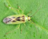 Orthotylus modestus