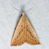 8361 – Louisiana Macrochilo Moth – Macrochilo louisiana