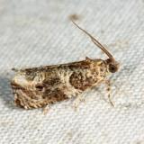 2770 – Dusky Leafroller Moth – Orthotaenia undulana