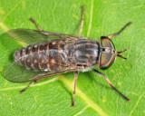 Tabanus pumilus (female)