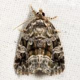 9047 - Large Mossy Lithacodia - Protodeltote muscosula