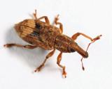 Listronotus appendiculatus