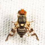 Eastern Cherry Fruit Fly - Rhagoletis cingulata