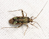 Phytocoris eximius