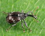 Strawberry Bud Weevil - Anthonomus signatus