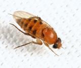 Apocephalus sp.