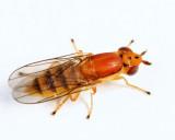 Ectecephala sp.