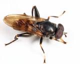 Chalcosyrphus nemorum
