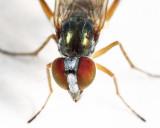 Rhaphium signiferum