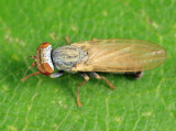 Parochthiphila cf. spectabilis