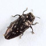 Taphrocerus sp.