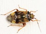 Tarnished Plant Bug - Lygus lineolaris