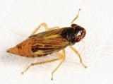 Leafhoppers genus Evacanthus