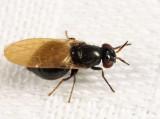 Lauxania shewelli