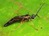 Hemitaxonus dubitatus