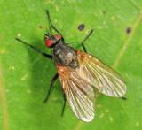 Chirosia flavipennis