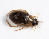Berosus sp.