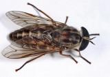 Tabanus fulivicallus