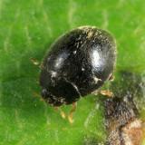 Lady Beetles - Genus Stethorus