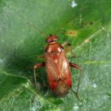 Pinalitus sp.