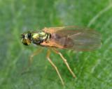Chrysotimus delicatus