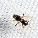 Stilobezzia antennalis