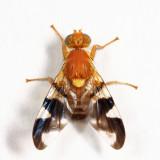 Walnut Husk Maggot - Rhagoletis suavis