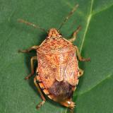 Podisus placidus